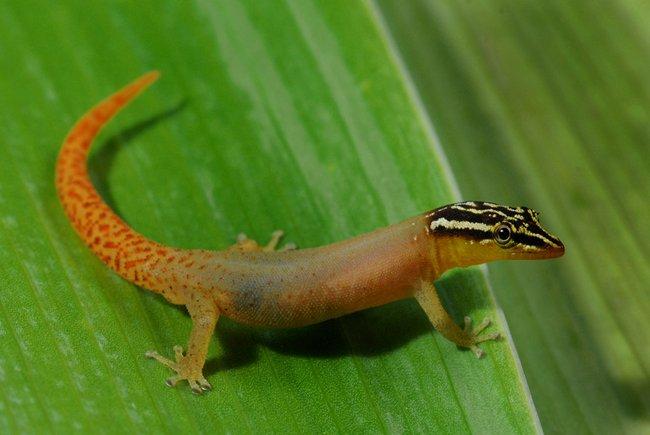 sphaerodactylus-mollei